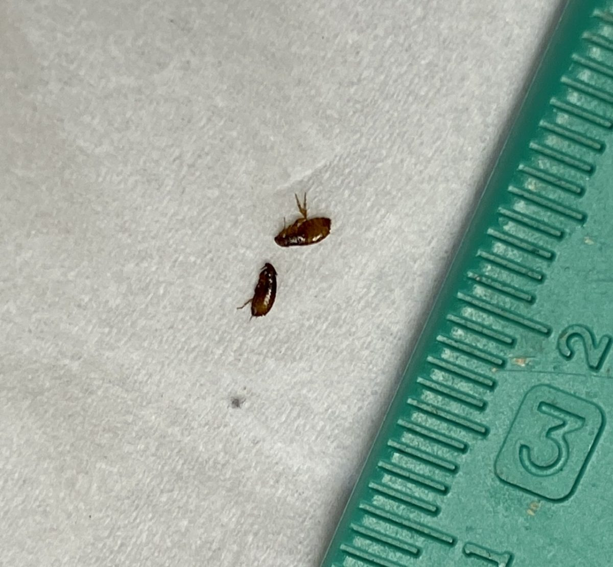Fleas removed during bath