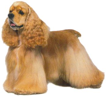 American Cocker Spaniel picture