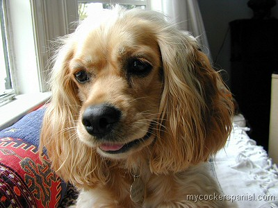 Cocker Spaniel Of The Month Contestants 2 07